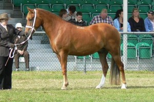 Green Cottage Independance chestnut gelding, Green Cottage Ambassador x Hurstfield Astra (owned by G.Reed)